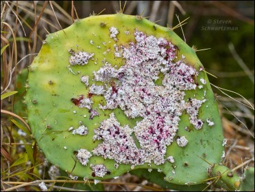 cochineal-on-prickly-pear-2068